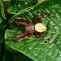 Nephila? - Araneus trifolium