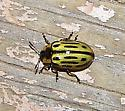 Yellow-Green Beetle - Chrysomela scripta