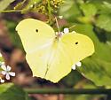 Yellow-angled Sulphur - Anteos maerula
