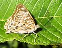 Butterfly - Asterocampa celtis