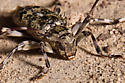 Brown- and tan-spotted beetle - Graphisurus fasciatus