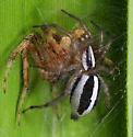 Spider ID - Cesonia bilineata
