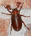 Lined June Beetle - Polyphylla hammondi - male