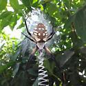 Black and Yellow Argiope - Argiope aurantia - female