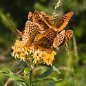 Great Spangled Fritillary (?) 'flocking' behavior on Butterfly Milkweed (Aesclepias tuberosa)...mating? feeding frenzy? - Speyeria cybele