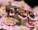 Fly with Red-Spotted Legs - Syritta pipiens - male