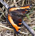 Milbert's Tortoiseshell Butterfly - Aglais milberti