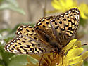 Speyeria zerene puntareyes - Speyeria zerene - female