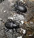 Are these male and female Upis ceramboides - Roughened Darkling Beetle??? - Upis ceramboides