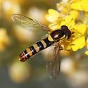 Syrphidae - Sphaerophoria