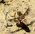 Doris Bee Fly - Exoprosopa doris