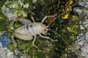 Coachella Giant Sand Treader Cricket (Macrobaenetes valgum) - Macrobaenetes valgum