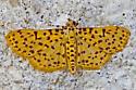 MothYelWingRustSpots06232015_AR_ - Polygrammodes eleuata