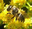 Bee - Megachile inermis