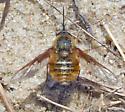 Bee Fly - Bombylius incanus? - Bombylius mexicanus