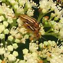 Several longhorns on wild hydrangea flowers - Metacmaeops vittata - male - female