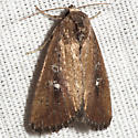 White-dotted Groundling Moth - Hodges #9690 - Condica videns
