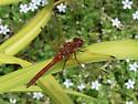 Red-veined Meadowhawk - Sympetrum madidum - male
