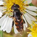 Fly - Tropidia albistylum