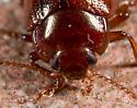 Reddish Beetle - Chrysolina staphylaea