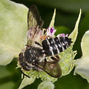 Cuckoo leafcutter bee (male) - Coelioxys sayi - male