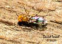 Fly - Chymomyza amoena