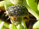 Wetlands Bug - Ligia