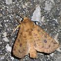Yellow Three-Spot - Apamea helva