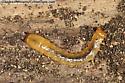 fire-colored beetle larva - Neopyrochroa flabellata