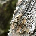 White ant-like winged insect with black markings - Psocus leidyi