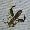 Hyalymenus tarsatus - Texas Bow-legged Bug - Hyalymenus tarsatus