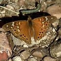 caterpillar under Emperor - Asterocampa leilia - male