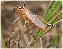 Robberfly - Diogmites neoternatus