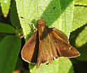 Clouded Skipper ? - Lerema accius