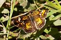 Possible Phaon Crescent - Phyciodes phaon - male