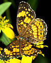 Beautiful Crescent Butterfly of some sort? - Chlosyne nycteis - female