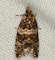 tortricid moth ? - Celypha cespitana
