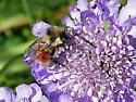 Black-tailed Bumblebee - Bombus melanopygus - Bombus melanopygus