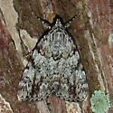 Girlfriend Underwing Moth - Catocala amica