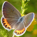 Unknown Copper Butterfly
