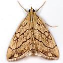 Purple-backed Cabbageworm - Hodges#4897 - Evergestis pallidata