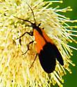 Black and Yellow Lichen moth - Lycomorpha pholus