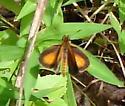 Small Orange Skipper - Ancyloxypha numitor