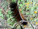Caterpillar Black and Tan - Estigmene acrea