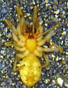 E. reticulata male - Emblyna reticulata - male