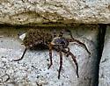 Wolfe Spider with babies? - Tigrosa aspersa - female