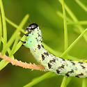 Green and Black Caterpillar - Egira hiemalis