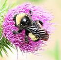 Bombus pensylvanicus - American Bumble Bee - Bombus pensylvanicus - female
