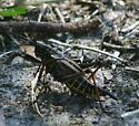 Monster Grasshopper - Romalea microptera - female