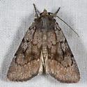 Setagrotis pallidicollis - female